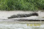 Photo of krokodýl americký, Crocodylus acutus, Spitzkrokodil, American crocodile