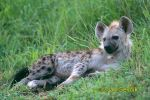 Photo of hyena skvrnitá Gefleckte Hyana Spotted Hyaena Crocuta crocuta
