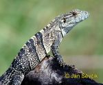 Photo of  leguán černý, Black Iguana, Schwarzer Leguan, Ctenosaura similis