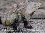 Photo of leguán Cyclura ricordi Ricords Iguana Iguana ricordi Národní park Isla Cabritos