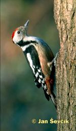 Photo of strakapoud prostřední, Middle Spotted Woodpecker, Dendrocopos medius.