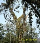 Photo of   porosty epifytů, epiphyte, Cuba