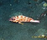 Photo of kanic, Black-tippedgrouper, Epinephelus fasciatus