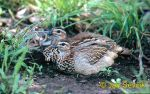 Photo of frankolín chocholatý, Francolinus sephaena, Crested Francolin, Schopffrankolin