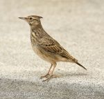 Photo of chocholouš obecný Galerida cristata Crested Lark