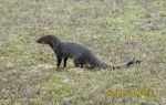 Photo of  promyka Herpestes edwardsi Indian Grey Mongoose Goldstaub Manguste