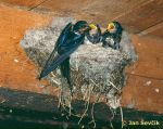 Photo of Hirundo rustica, Rauchschwalbe, Barn Swallow, vlaštovka obecná.