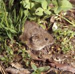 Photo of  hraboš polní Microtus arvalis Common Vole Feld Maus