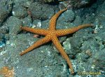 Photo of hvezdice, sea star,  Nardoa novaecaledonia.