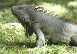 Photo of leguán zelený, Iguana iguana, Green Iguana