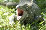 Photo of leguán zelený, Iguana iguana Green Iguana