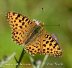 Photo of perleťovac malý Issoria lathonia Queen of Spain Fritillary Kleiner Perlmutterfalter