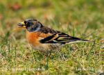 Photo of pěnkava jikavec Fringilla montifringilla Brambling Bergfink