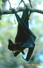 Photo of kaloň malajský, Fruit Bat, Large flying Fox, Pteropus vampyrus.