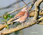 Photo of konopka obecná Carduelis cannabila Linnet Bluthanfling