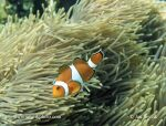 Photo of klaun Clown Anemonefish Amphiprion ocellaris