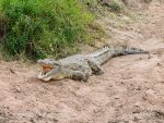 Photo of krokodýl nilský Crocodylus niloticus  Nile Crocodile Nilekrokodil Masai Mara
