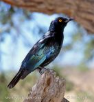 Photo of leskoptev Lamprotornis nitens Cape Glossy Starling