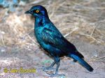 Photo of leskoptev, Lamprotornis nitens, Cape Glossy Starling