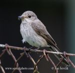 Photo of lejsek šedý Muscicapa striata Spotted Flycatcher Grauschnäpper