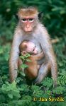 Photo of Macaca sinica