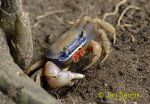 Photo of krab, mangrove crab sp.