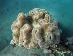 Photo of mekky koral, soft coral