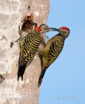 Photo of datel haitský Melanerpes striatus Hispaniolan Woodpecker Carpintero de La Espaňola