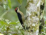 Photo of datel černolící Melanerpes pucherani Black-cheeked Woodpecker