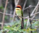 Photo of vlha hnědohlavá Merops leschenaulti Cheatnut-headed Bee-eater Bengalspint