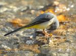 Photo of konipas horský Motacilla cinerea Grey Wagtail Gebirgsstelze