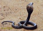 Photo of kobra indická, Naja naja, Indian Cobra, Kobra