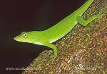 Photo of leguanek Norops biporcatus Green Tree Anole
