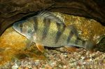 Photo of okoun říční Perca fluviatilis European perch Flussbarsch