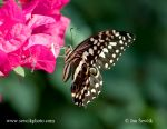 Photo of otakárek citrusový Papilio demodocus Citrus swallowtail