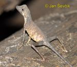 Photo of  agama Otocryptis wiegmanni Sri Lankan Kangaroo Lizard