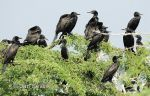 Photo of kormorán indomalajský, Phalacrocorax fuscicollis, Indian Cormorant, Phalacrocorax niger