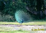 Photo of páv korunkatý, Pavo cristatus, Indian Peafovl, Pfau