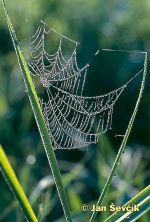 Photo of pavucina, cobweb