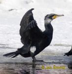 Photo of kormorán velký, Great Cormorant, Kormoran, Phalacrocorax carbo
