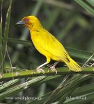 Photo of Snovač Bojerův Ploceus bojeri Golden Palm Weaver Palmenweber