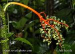 Photo of plody palmy fruits of palm rain forest Arenal