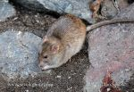 Photo of potkan Rattus norvegicus Brown Rat Wanderratte