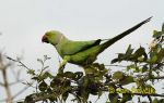 Photo of  alexandr malý  Psittacula krameri Rose-ringed Parakeet Halsbandsittich