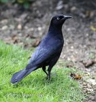 Photo of vlhovec antilský Quiscalus niger Greater Antillean Grackle Antillengracker