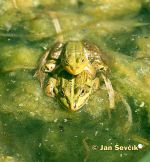 Photo of Edible Frog, Green Frog, Teichfrosch, Rana kl esculenta.
