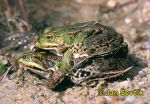 Photo of skokan zelený, Edible Frog, Green Frog, Teichfrosch, Rana kl. esculenta.