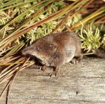 Photo of  rejsek malý Sorex minutus Pigmy Shrew Zwergspitzmaus