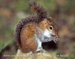 Photo of veverka Deppeova Sciurus deppei Deppe s Squirrel Deppes Hornchen