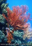 Photo of rohovitka sea fan
